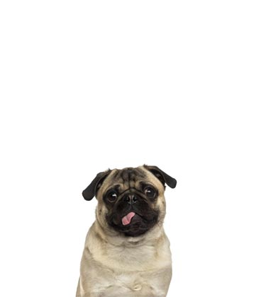 Gus pug support